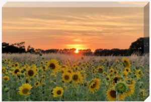 Sunflower Sunset canvas